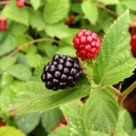 Gaillac : Autres petits fruits du jardin