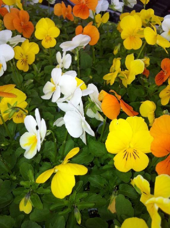 montans vente de chrysanth mes et fleurs dans ton tarn. Black Bedroom Furniture Sets. Home Design Ideas