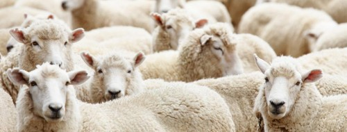 Moutons /  Dmitry Pichugin - Fotolia