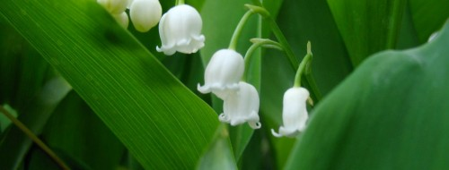 Muguet /  Courambel - Flickr