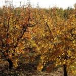 Puycelsi : Journées Portes ouvertes au Conservatoire d'espèces fruitières et vignes anciennes de Puycelsi