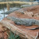 Crocodiles du Nil / © Wikipédia