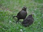 conf-rence-oiseaux-de-l-ort-et-du-jardin-.jpg