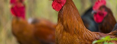 Influenza aviaire: déclaration et confinement obligatoires des oiseaux captifs détenus par les particuliers / © teptong - Fotolia