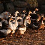 Tarn : Influenza aviaire hautement pathogène H5N8, un foyer détecté dans le Tarn dans un élevage de canards