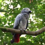 Changement de statut des perroquets gris du Gabon (Jaco) / © DR