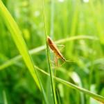 Manger des insectes pour sauver la planète…