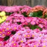Chrysanthèmes (c) Maureen Plainfield - Fotolia