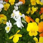 Montans Vente de Chrysanthèmes et fleurs (c) APE de Montans