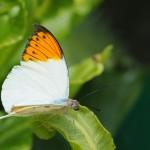 Hebomoia glaucippe / cc Thomas Bresson - Wikipédia