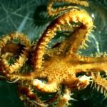 Astrogymnotes oharai / cc Sabine Stöhr - WoRMS