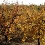 Arbres fruitiers (c) cc fturmog