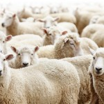 Moutons / © Dmitry Pichugin - Fotolia