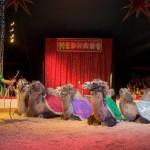 Medrano, les chameaux / © DR