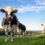 Agriculture : Demande de quotas laitiers, campagne 2013-2014 / © pp76 - Fotolia
