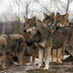 Loup Gris / © Zoo des 3 vallées