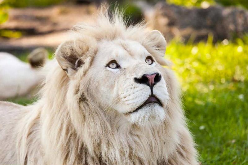 Youri le lion blanc / © Zoo des 43 vallées