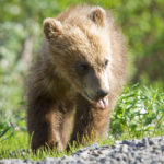 Ourson brun / © wikimedia Springer Grizzly Cub